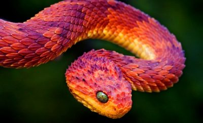 Животное Рохини змея