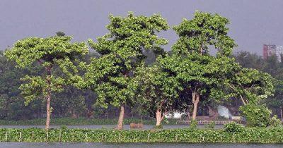 Карам-кадамба растение Сатабхиша