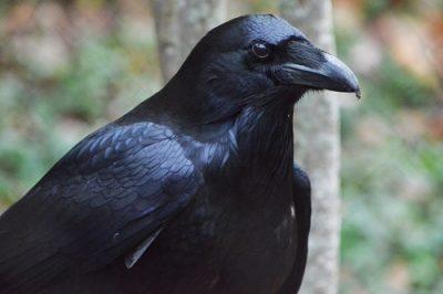 Ворон птица Сатабшиха