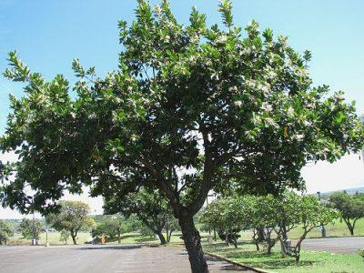 Александровский лавр растение Ашлеши