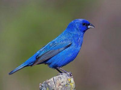 Синий воробей птица Ашлеши