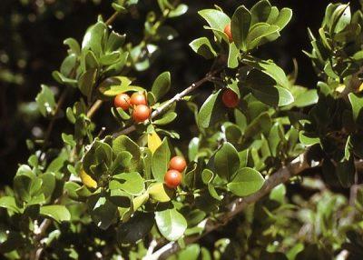 Чилибуха дерево Ашвини