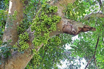 Фикус дерево Криттики