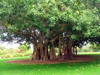 Бенгальский фикус растение Магхи