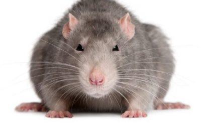 Крыса самец животное Магхи