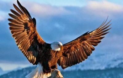 Орел птица пурвапхалгуни