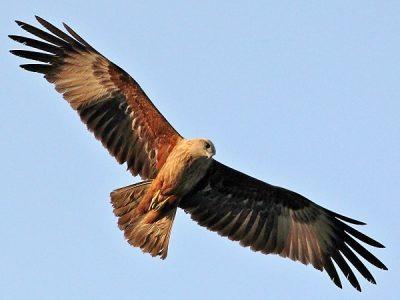 Дикий орел символ Ашвини-кумаров