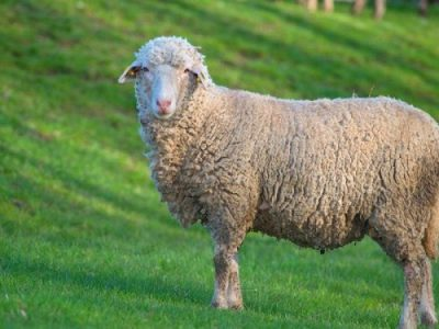 Овца животное Криттики