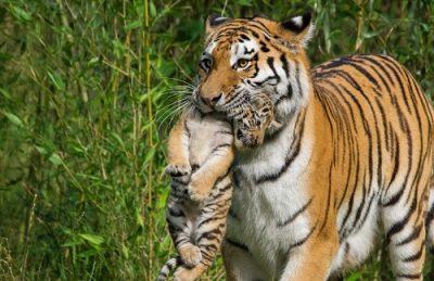 Тигрица животное Читры