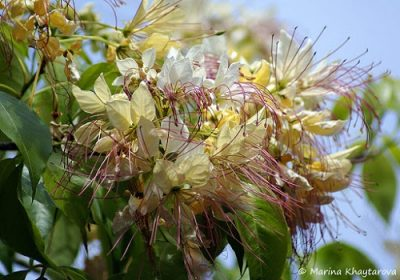 Кратева священная растение Читры