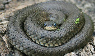 Змея символ Ашлеши