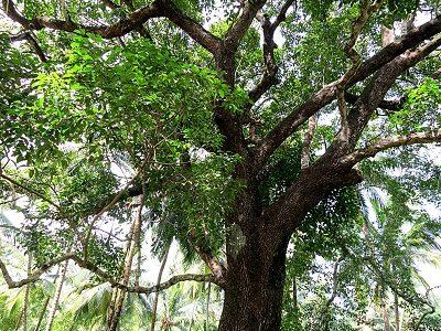 Дерево бакула