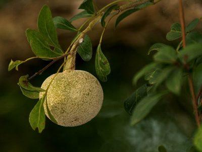 Слоновое яблоко дерево Вишакха
