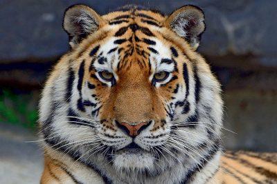 Тигр животное Вишакха