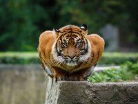 Тигрица символ накшатры Вишакхи