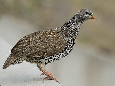 Птица Шраваны
