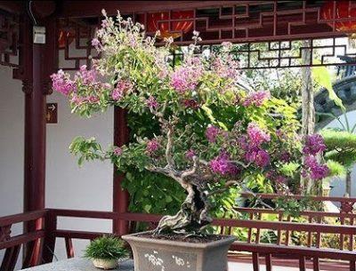 Растение Свати Банаба