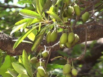 Мадука растение Ревати
