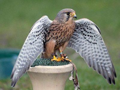 Пустельга птица Ревати