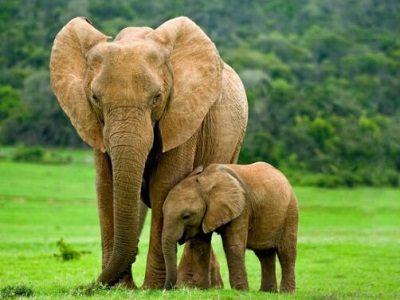 Слониха Ревати