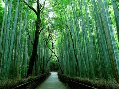 Бамбук растение пунарвасу