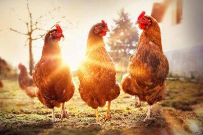 Курица животное Мригариша