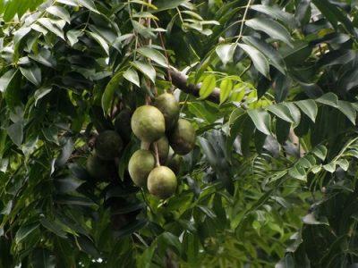 Дикое манго растение Хасты