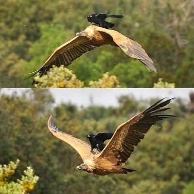 Гриф птица Хасты