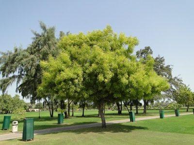 Ним дерево Уттара Бхадрапада
