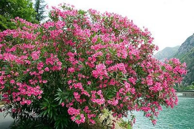 Растение Уттара пхалгуни