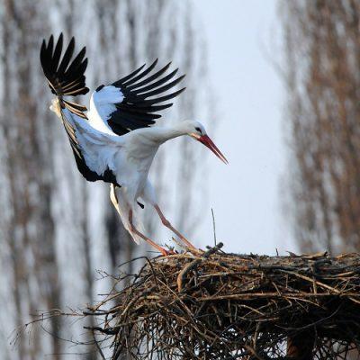 Айст птица Уттара Ашадха