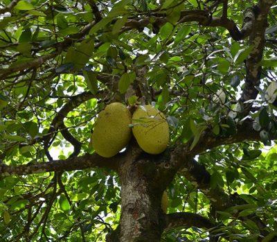 Джекфрут растение Уттара Ашадха