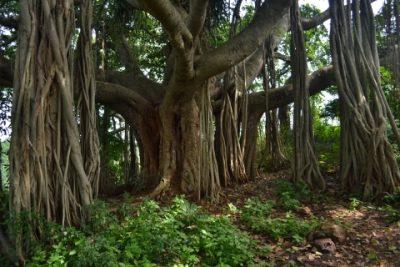 Фикус бенгальский растение Пурва Ашадхи