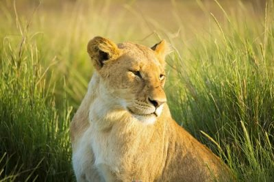 Львица животное Джаништхы