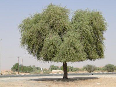 Прозопис метелконосный растение Джаништха