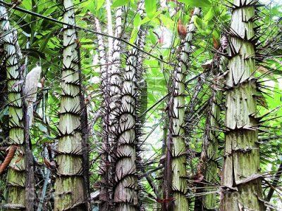 Ротанг дерево Джйештха
