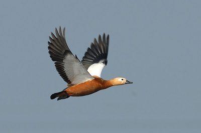 Утка птица Джйештха